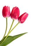 Trzy czerwonego tulipanu Obrazy Royalty Free