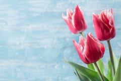 Trzy czerwonego tulipanu na błękitnym tle Obraz Royalty Free