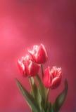 Trzy czerwonego tulipanu na różowym tle Fotografia Stock