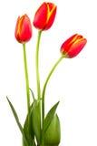 Trzy czerwonego tulipanu Obraz Royalty Free