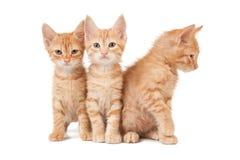 Trzy czerwonej figlarki Fotografia Stock