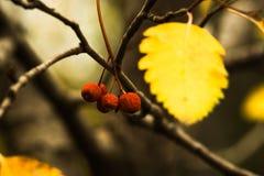 Trzy czerwonej małej jagody i żółtej jesień leaf na gałąź Obrazy Royalty Free
