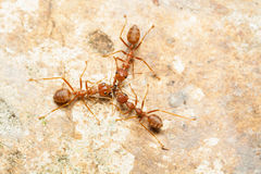 Trzy czerwonej mrówki pomagają wpólnie łapać zdobycza Obrazy Stock