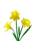 Trzy daffodil Zdjęcie Royalty Free