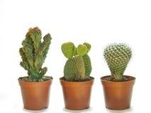 Trzy doniczkowy kaktus Obrazy Royalty Free