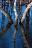 Trzy drzew odbicie w wodzie Fotografia Stock