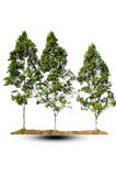 Trzy drzewa dalej odizolowywają tło Zdjęcia Stock