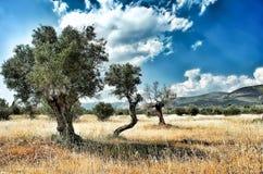 Trzy drzewa oliwnego z rzędu Obraz Stock