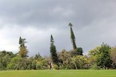 Trzy drzewa w Santa Catarina parku w Funchal Zdjęcie Royalty Free