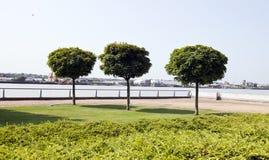Trzy drzewa zasadzającego rzeką w mieście Fotografia Royalty Free