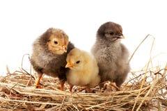 Trzy dzieci kurczak w słomianym gniazdeczku na białym tle Zdjęcie Royalty Free