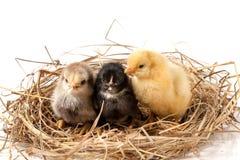 Trzy dzieci kurczak w słomianym gniazdeczku na białym tle Obrazy Royalty Free