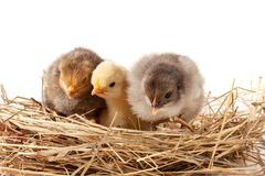 Trzy dzieci kurczak w słomianym gniazdeczku na białym tle Obraz Stock