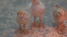 Trzy dziecka kurczątka ćwierkają i bawić się z each inny przy farmą drobiu zbiory wideo