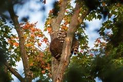 Trzy dziecka szop pracz na drzewie obraz royalty free