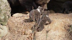 Trzy dziecko niedźwiedzia, matka w tle i zbiory wideo