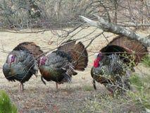 Trzy dziki indyk w lęgowym upierzeniu Fotografia Royalty Free