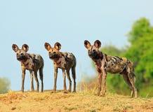 Trzy dzikich psów przyglądający ostrzeżenie z naturalnym niebieskiego nieba i krzaka tłem w Południowym Luangwa parku narodowym,  obrazy stock