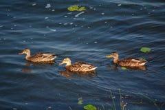 Trzy dzikiej kaczki unosi się na stawie fotografia royalty free
