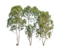 Trzy Eukaliptusowego drzewa, tropikalny drzewo zdjęcie royalty free