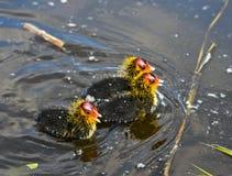 Trzy Eurasion coot kurczątka Obraz Royalty Free