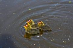 Trzy Eurasion coot kurczątka Fotografia Stock