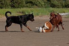 Trzy figlarnie psa na plaży obraz royalty free
