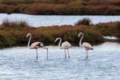 Trzy flamingów phoenicopterus ruber wielki odprowadzenie w shallo Zdjęcia Royalty Free
