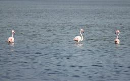 Trzy flaminga Fotografia Royalty Free