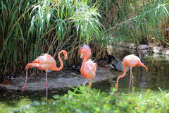 Trzy flaminga Zdjęcie Royalty Free