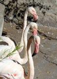 Trzy flaminga różowią colour Fotografia Stock