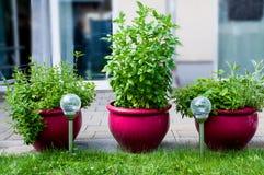 Trzy garnka świezi ziele Zdjęcie Stock