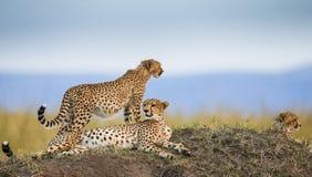 Trzy geparda w sawannie Kenja Tanzania africa Park Narodowy kmieć Maasai Mara zdjęcia royalty free