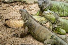 Trzy gigantów zielona iguana Obrazy Royalty Free