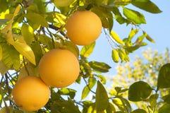 Trzy Grapefruitowy na drzewie w Południowy Kalifornia w zimie Zdjęcie Stock
