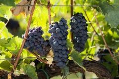 Trzy grona czerwoni winogrona Obraz Royalty Free