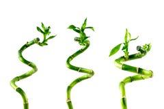 Trzy houseplant trzon Szczęsliwy Bambusowy Dracaena Sanderiana z zielenią opuszcza, przekręcał w ślimakowatego kształt, odizolowy zdjęcie royalty free