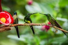 Trzy hummingbirds siedzi na gałąź obok czerwonego dozownika, hummingbird od tropikalnego tropikalnego lasu deszczowego, Peru, pta obrazy royalty free