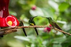 Trzy hummingbirds siedzi na gałąź obok czerwonego dozownika, hummingbird od tropikalnego tropikalnego lasu deszczowego, Peru, pta obrazy stock