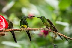 Trzy hummingbirds siedzi na gałąź obok czerwonego dozownika, hummingbird od tropikalnego tropikalnego lasu deszczowego, Peru, pta zdjęcie royalty free