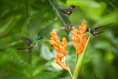 Trzy hummingbirds unosi się obok pomarańczowego kwiatu, tropikalny las, Ekwador, trzy ptaka ssa nektar fotografia royalty free