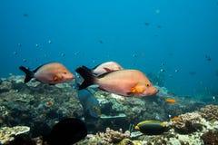 Trzy Humpback fotografa ryba pływa nad rafą zdjęcie stock