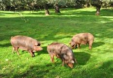 Trzy Iberyjskiej świni w paśniku, baleron Jabugo, prowincja Huelva, Hiszpania Fotografia Stock