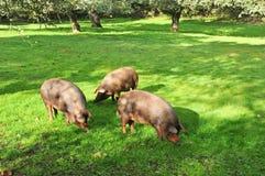 Trzy Iberyjskiej świni je acorns w lesie Jabugo, prowincja Huelva, Hiszpania Zdjęcia Royalty Free