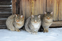 Trzy identycznego kota siedzą na drewnianym ganeczku Fotografia Royalty Free
