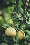 trzy jabłka na jabłoni Obraz Royalty Free