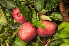 Trzy jabłka na drzewie po podeszczowej burzy Zdjęcie Stock
