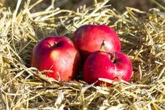 Trzy jabłka w gniazdeczku Zdjęcia Stock