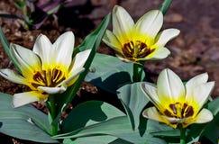 trzy jaskrawego białego tulipanu kwitnęli w ogródzie w ogródzie botanicznym Zdjęcia Royalty Free