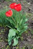 Trzy jaskrawego czerwonego kwiatu tulipany Zdjęcia Royalty Free